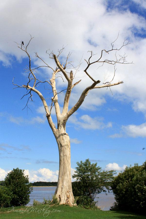 Hortons Landing Elm Tree